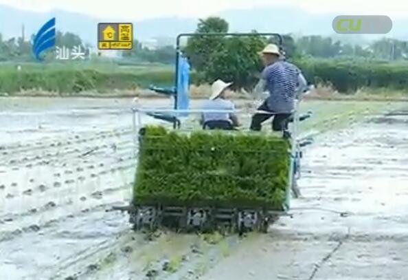我市37万亩晚稻开始插秧 2017-08-12