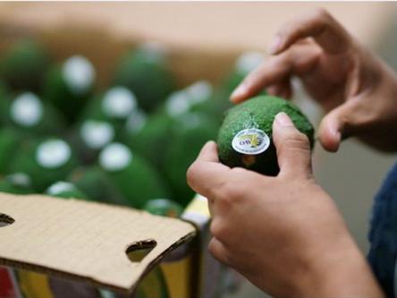 美夏威夷家庭种出5斤重的牛油果 刷新世界纪录