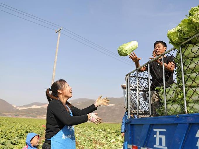 辽宁海城:白菜收获忙