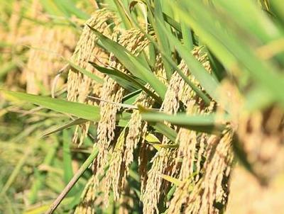 1046.3公斤!袁隆平第三代杂交水稻首次公开测产
