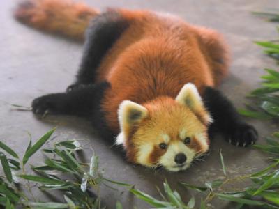 官方通报猫咖养小熊猫:涉嫌违规展示 已送回养殖场