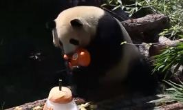 大熊貓保護結碩果